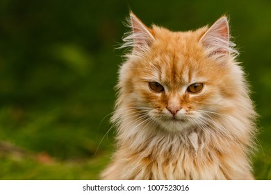 Beautiful vivid bright orange color cat lay on green grass in first red maple leaves