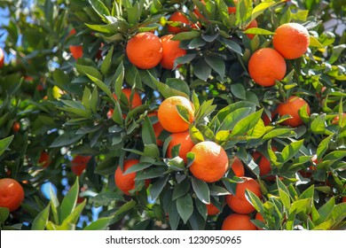 beautiful and vivid colors oranges on tree with green leaves