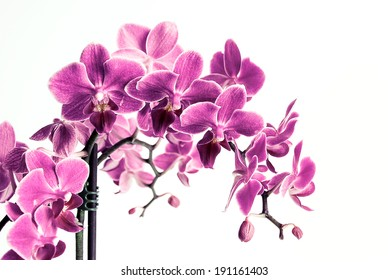 Beautiful vivid purple orchid flower cluster isolated on white background, the pantone color of the year 2014, Radiant Orchid 18-3224 colored