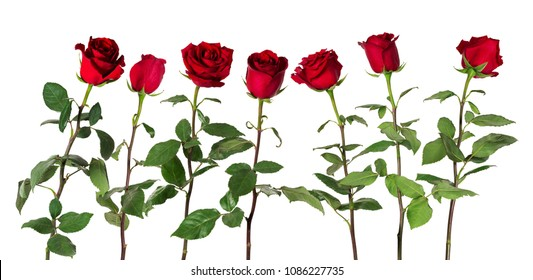 Beautiful vivid red roses on long stems with green leaves arranged standing in one row. Isolated on white background. Flowers are shot at different angles, includung side and back view.