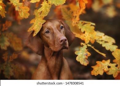 Beautiful Vizsla dog in the autumn leaves
