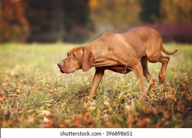 Beautiful Vizsla dog in nature