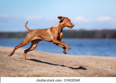 Beautiful Vizsla dog is running on the beach