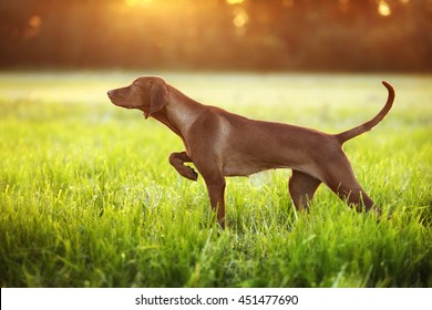 Beautiful Vizsla dog standing in the grass