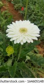 A Beautiful Waite Flower In My garden