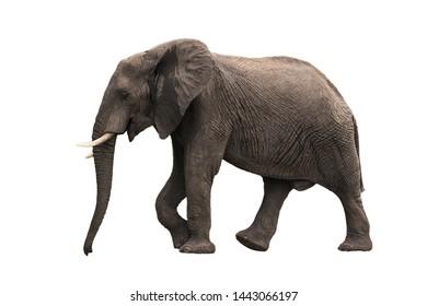 Beautiful walking elephant isolated on white background (profile view)