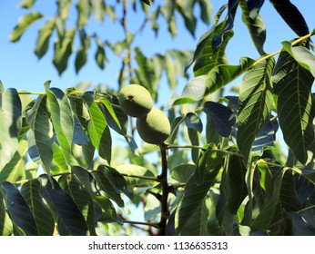 beautiful walnuts in a shell on the branches of a tree
