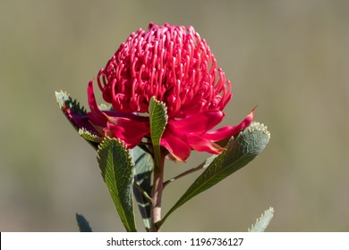 The beautiful Waratah - NSW state emblem, Taken at Patonga, NSW, Australia
