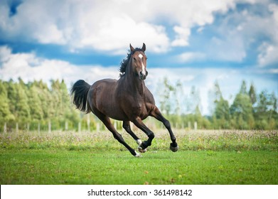 Beautiful warmblood horse running on the field in summer