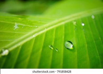 Beautiful Water drop on green banana leaf