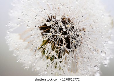 Beautiful water drops on a dandelion, among the mountains in the fog. Macro in nature.