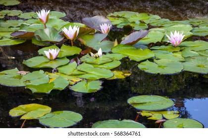 beautiful water lilies bloom in the lake