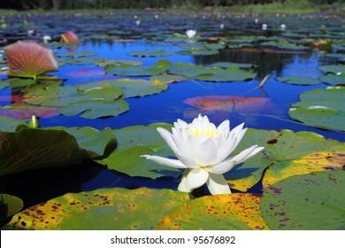 Beautiful water lilies blooming in Minnesota lake