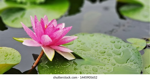 The beautiful water lilies in the water garden.  Nymphaea lotus is an  aquatic plants in the family Nymphaeaceae. Many species are cultivated and hybreed cultivated as ornamental plants,