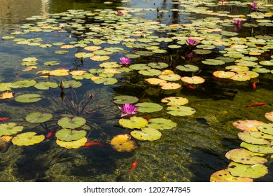 Beautiful water lilies and goldfish in the pond