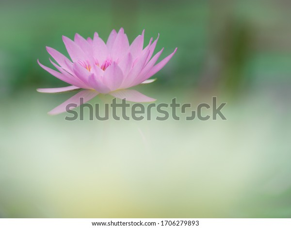 Beautiful water lily is blooming in spring