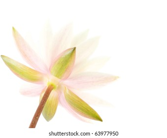 Beautiful water lily close-up