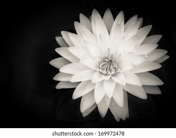 Beautiful water lily with layers of petals on black background