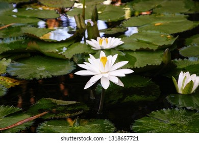 A Beautiful Water Lily in a Pond in Guatemala