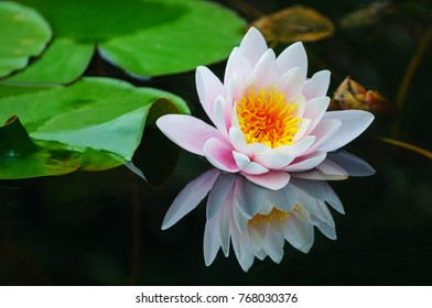 Beautiful Water lily in the pond with reflection