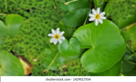 The beautiful water snowflake is blooming in the pond.  Nymphoides indica is an aquatic plant in the Menyanthaceae, with submerged roots and floating leaves that hold small flowers above water surface