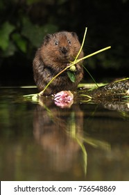 A beautiful water vole (Arvicola amphibius) captured in the UK eating some flora and clover.