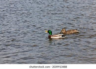 beautiful waterfowl ducks in spring or summer, waterfowl wild ducks in the wild, small low wild ducks