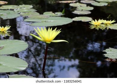 beautiful waterlily or lotus flower in pond, yellow lotus
