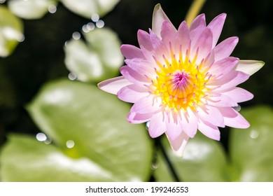Beautiful waterlily or lotus flower in pond