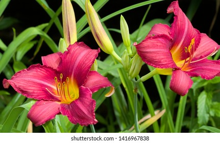 Beautiful Watermelon Colored Daylily Blossoms - Hemerocallis