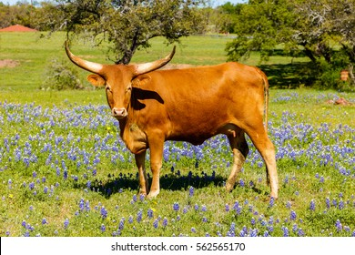 A beautiful Watusi Longhorn mix cow standing proud in a bluebonnet field on a ranch in the Texas Hill Country.