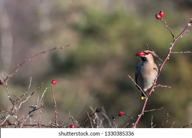 Beautiful Waxwing bird, Bombycilla garrulus, feeding rose hip berries in a shrub at the swedish island Oland