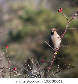 Beautiful Waxwing bird, Bombycilla garrulus, searching for food in a rose hip shrub at the swedish island Oland
