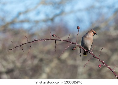 Beautiful Waxwing bird, Bombycilla garrulus, sitting on a rose hip twig at the swedish island Oland