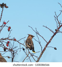 Beautiful Waxwing bird, Bombycilla garrulus, looking for food in a rose hip shrub at the swedish island Oland