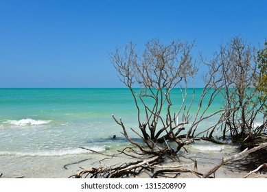 Beautiful Weathered Driftwood on the beach of Beer Can Island Longboat Key Florida