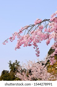 "Beautiful weeping cherry in the Japanese garden.""Sakura"".Japan."