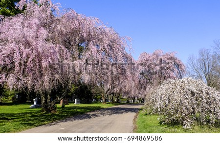 Beautiful weeping cherry trees white flowering stock photo edit now the beautiful weeping cherry trees and white flowering shrubs that bloom in the spring in the mightylinksfo