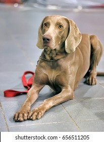 A beautiful Weimaraner dog