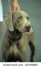 A beautiful Weimaraner dog head portrait.