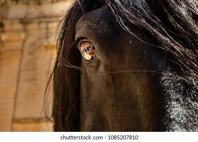 A beautiful and well cared for Fresian stallion.