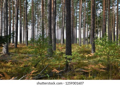 Beautiful well growing pine tree forest in early fall season colors