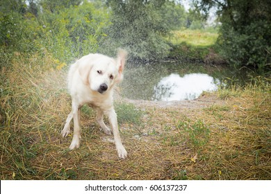 A beautiful and well-groomed dog breeds a golden retriever. The dog is playing by the river.