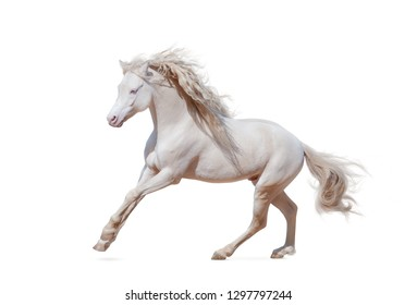 Beautiful welsh pony isolated galloping over a white