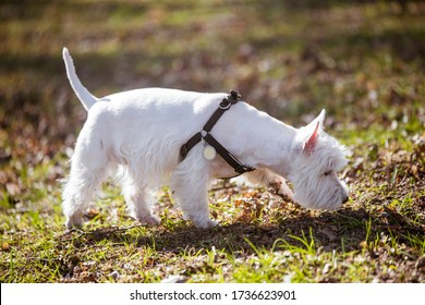 Beautiful West Highland White Terrier dog sniffs the grass on nature in the forest. Dog and tick vaccination.