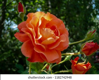 Beautiful Westerland roses in natural sunlight on a dark green background in the garden. Gently peach color and pleasant aroma. Nature concept for design