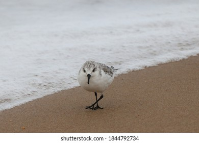 Beautiful Western Sandpiper (fall juvenile) running around the beach