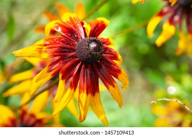 Beautiful wet flower rudbeckia with raindrops. Wet blooming flowers of yellow and orange rudbeckia (black-eyed susan) on a flower garden in rainy weather in summer. Floral background, selective focus.