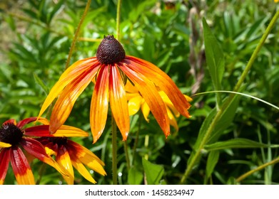 Beautiful wet flowers of rudbeckia with raindrops. Wet blooming flowers of yellow and orange rudbeckia (black-eyed susan) on a flower garden in rainy weather. Soft floral background, selective focus.