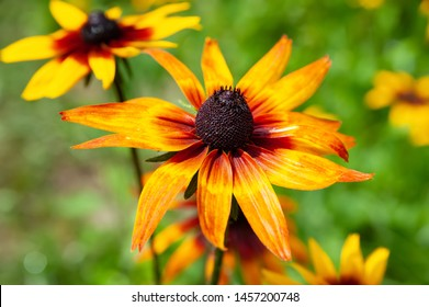 Beautiful wet flowers of rudbeckia ruddy with raindrops. Wet blooming flowers of yellow and orange rudbeckia (black-eyed susan) on a flower garden in rainy weather. Floral background, selective focus.